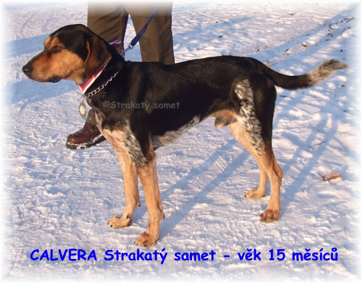 CALVERA Strakaty samet, Czech Spotted Dog, in age of 15 months