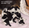 puppies - litter F Strakaty samet